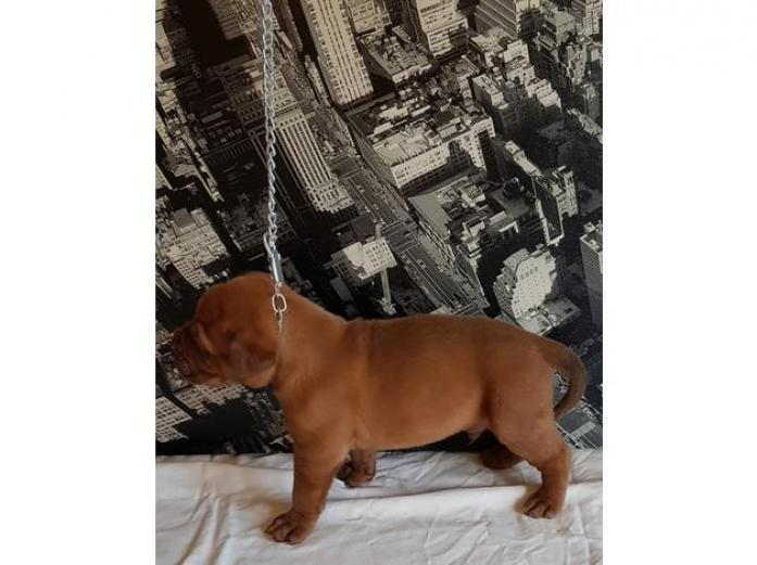 Dogue De Bordeuax puppies