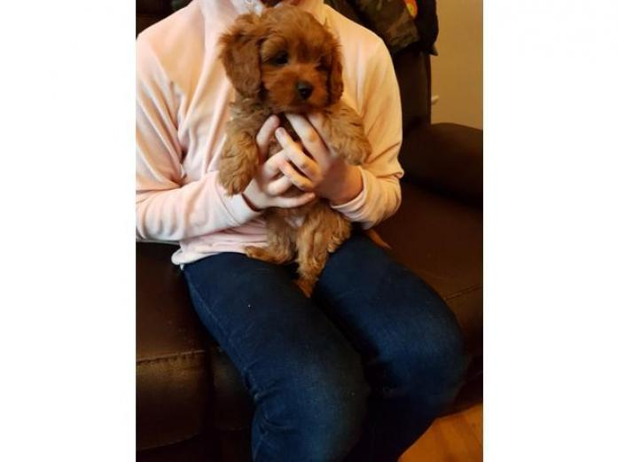 Health tested parents Red Cavapoo puppies