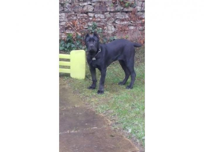 9 month old imported cane corso for sale