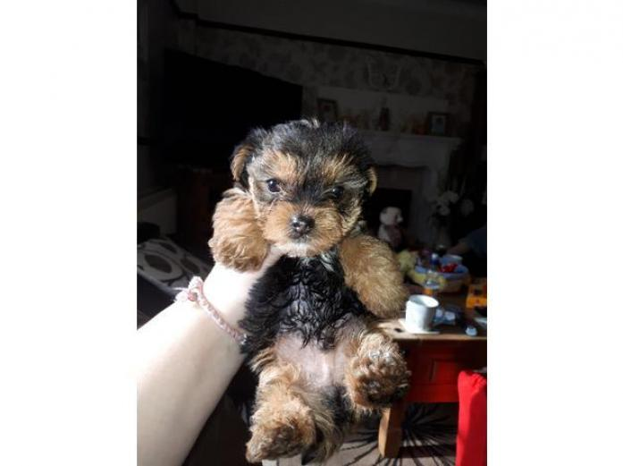 Pedigree Biewer Yorkshire Terrier Puppy