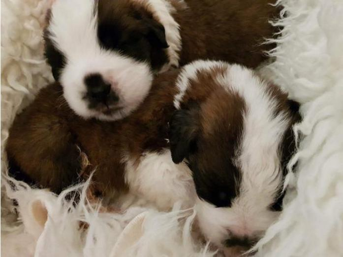 Beautiful chunky St. Bernard puppies