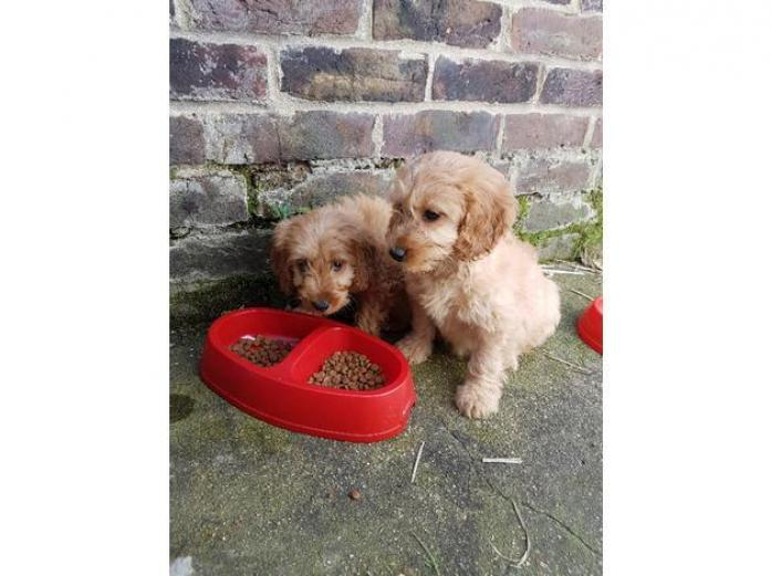 Beautiful Cockapoo puppies