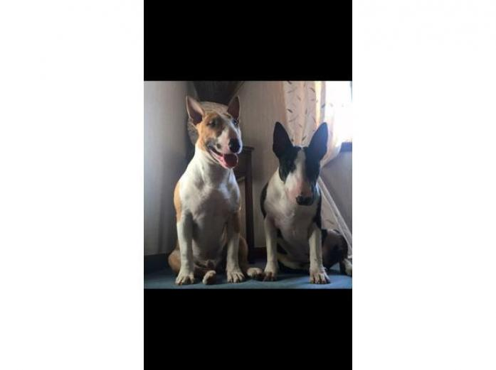English bull terrier puppies