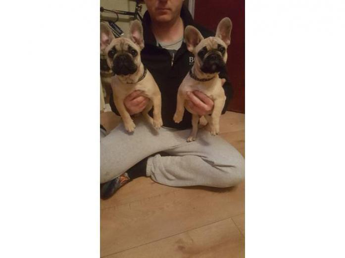 French bulldog boys for sale