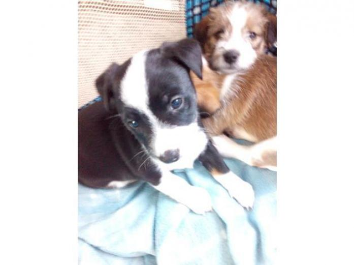 Jack russel puppys for sale