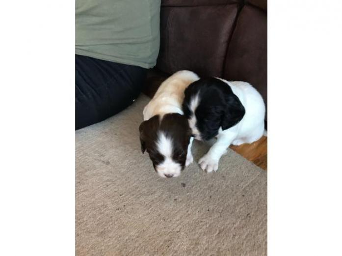 KC Registered Springer Spaniel pups
