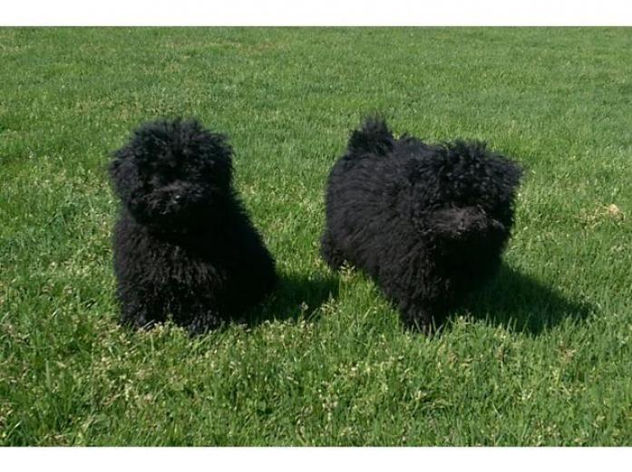 Pedigree Hungarian puli puppies