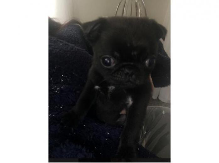 Pug puppy 1 boy left