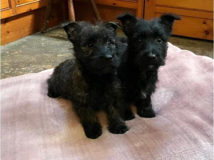 Scottish terrier x West highland terrier puppies