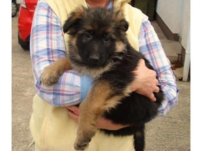 Superb Chunky German Shepherd Puppies For Sale