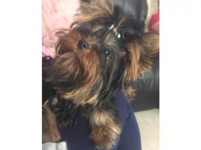 True miniature Yorkshire terrier girl