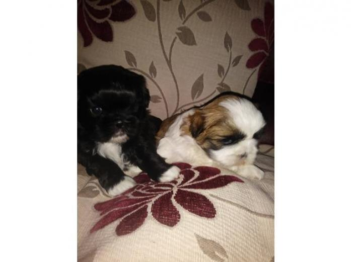 Two beautiful shih tzu puppies