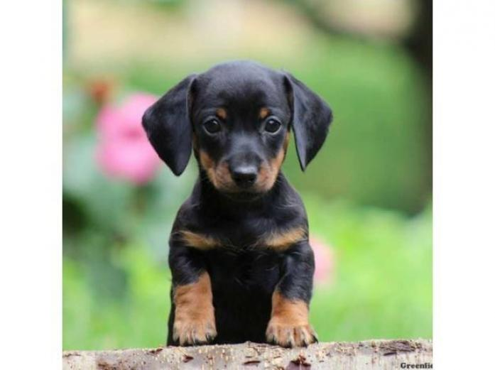 WANTED - Dachshund or Dachshund Cross