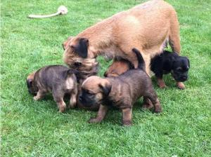 Border Terrier Puppy for sale