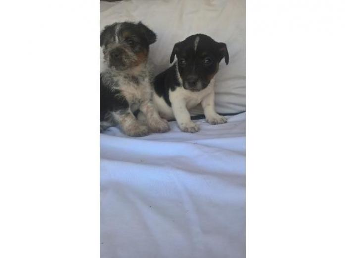 3 jack russell pups