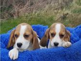 Beagles puppies