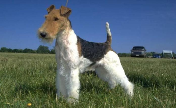 Fox Terrier Wire-Haired