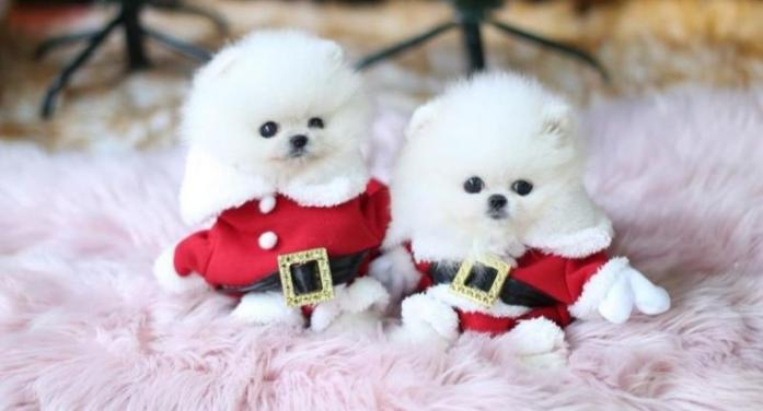 Pure White Pomeranian Puppies For Caring Homes.